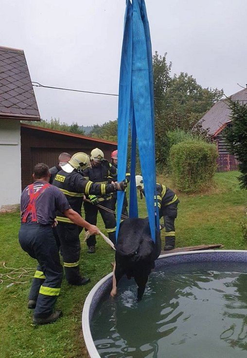 Hasiči zachraňovali býčka z bazénu.
