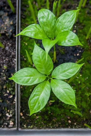 Zahradník Lukáš Koprnický zalévá na snímku z 7. června klíčící semena zmijovce titánského. V dubnu sklidili pracovníci v liberecké botanické zahradě přes 500 semen této vzácné rostliny, která je typická silným zápachem připomínajícím hnijící maso.