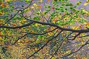 Jizerské bučiny - podzim