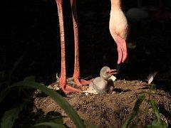 VZNEŠENÍ PLAMEŇÁCI nakladli v liberecké ZOO dvanáct vajec. Čtyři ptáčata už se vylíhla.