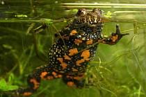 KUŇKA OHNIVÁ ohrožený druh žáby žije také v prostředí Manušických rybníků na Českolipsku.