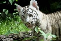 Tygříci ve venkovním výběhu zoologické zahrady v Liberci.