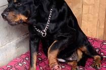 Caya si ohryzala nemocnou nohu do masa, majitelka nemá na veterinu.