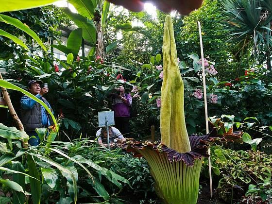 V úterý v botanické zahradě v Liberci vykvetl zmijovec titánský. Žádná rostlina na světě nemá větší květ, dorůstá totiž až do výšky dvou metrů. Pokud tento světový unikát chcete spatřit, spěchejte – pokvete přibližně tři dny.