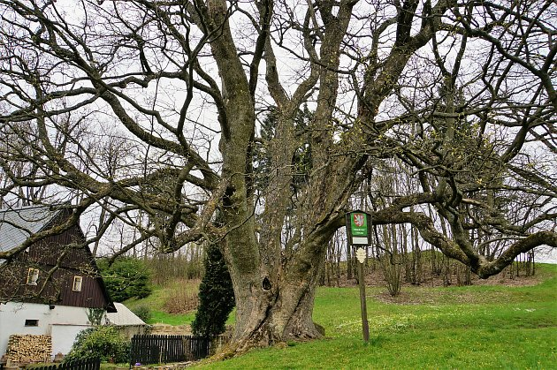 """a Rašovce  se nachází jeden znejkrásnějších památných stromů vLibereckém kraji. Javor klen, oobvodu kmene 665cm ve výšce 130cm nad zemí, byl vysazen jako strom – strážce ujednoho znejvětších statků – bývalého hospodářství """"UKotků"""". FOTO: IVANA FRE"""