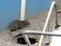 V ulicích měst potkáte potkany, i když si je lidé často pletou s krysou. Ty ale žijí spíše než v norách pod zemí na půdách.