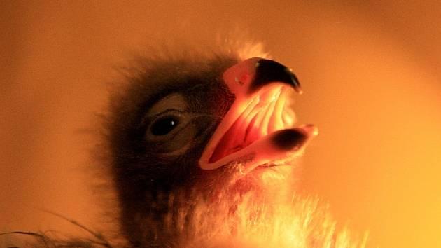 ZOO Liberec odlíhla orla křiklavého, třetího na světě.