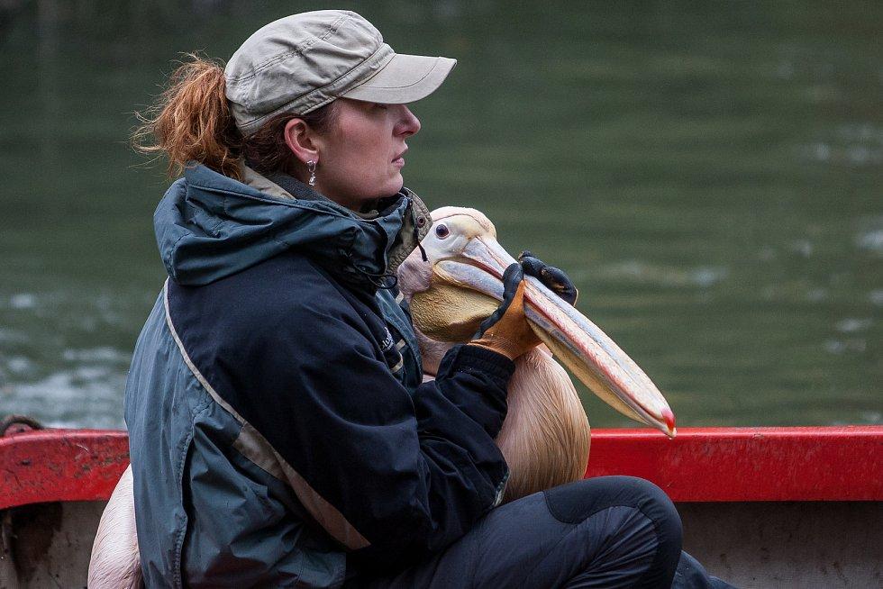 Pracovníci liberecké zoologické zahrady odchytávali 6. listopadu dvacet pelikánů bílých a skvrnozobých. Ti musí být přemístěni z jezírka do zimoviště.