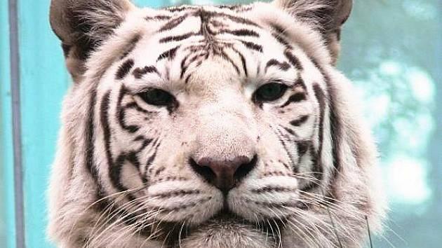Bílá tygřice.