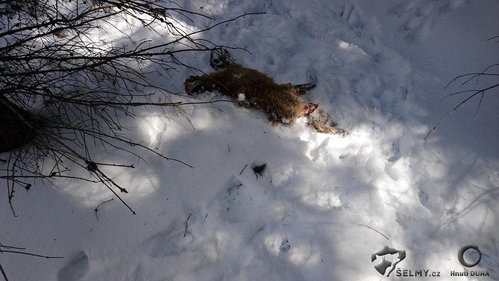 Zabitá liška vlky v Jizerských horách.