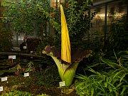 V liberecké botanické zahradě rozkvetl 8. července po třech letech zmijovec titánský.