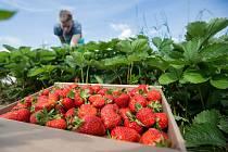 Sběr jahod je mezi Čechy čím dál víc populární