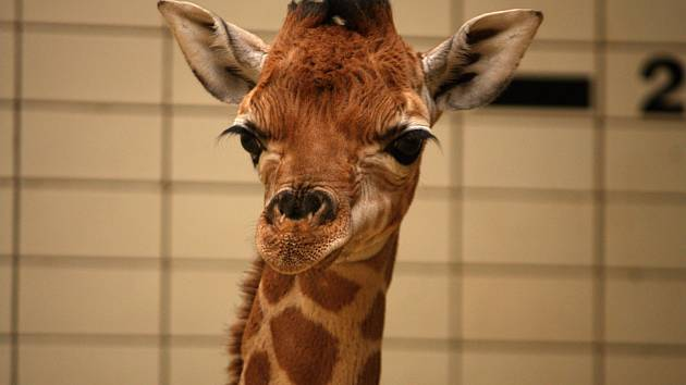 V liberecké zoo se bude slavit Den žiraf.