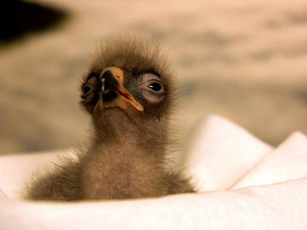 Liberecký orel je první na světě narozený ze zkumavky