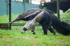 Beigly, samice mravenečníka velkého přivezená ze zoo v maďarské Budapešti, si už zvykla na nové prostředí. Samice je budoucí partnerkou samce Ria (na snímku z 24. dubna).