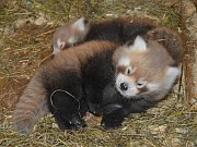 MLÁĎATA pandy červené v liberecké zoo.