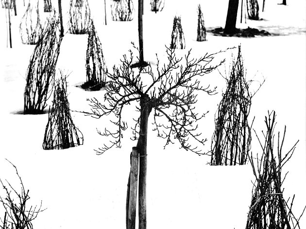 Karel Škopek: Sad v zimě