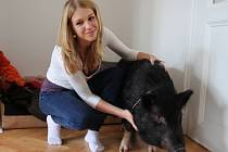 HOLINKA. Čtyřletá prasnice má padesát kilo, venčí se jednou denně, je velice čistotná a domácnost obývá s kočkou Emou, se kterou se kamarádí.