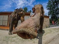 Samice slona indického Bala a Rání s ošetřovatelem Václavem Aschenbrennerem v Liberecké zoologické zahradě na snímku z 17. července.