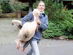 Odchyt pelikánů v zoo.