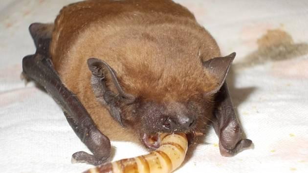 V záchranné stanici pro zvířata skončil i jelen Rumcajs. Na snímku krmení netopýra.