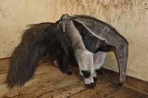 Mládě mravenečníka v liberecké zoo.