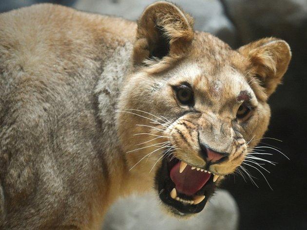 Shani samice vyhynulého lva berberského.