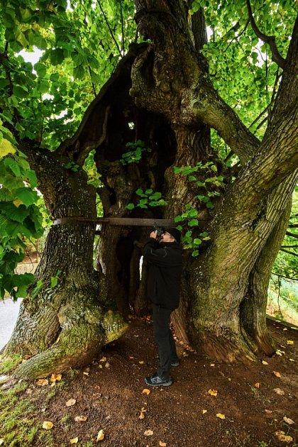 Tisíciletá lípa, která bojuje oprvenství vsoutěži Evropský strom roku.