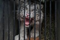 Libereckou zoologickou zahradu opustila včera poslední mláďata bílých tygrů. Samec Sambur a samice Gaia najdou nový domov v ukrajinské Zoo Limpopo.