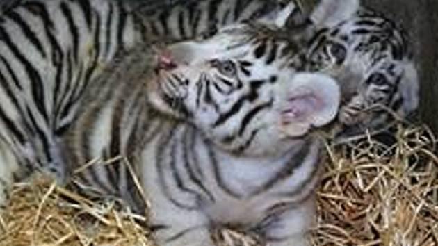 Mláďata bílých tygrů