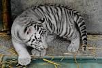 Mláďata vzácných bílých tygrů.