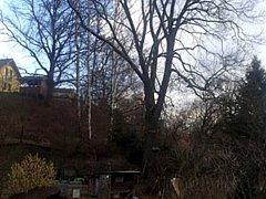 V Chrastavě provedli údržbu jasanu ztepilého, který je zapsaný jako památný strom.