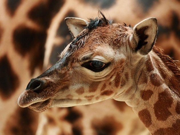 Samička právě narozené žirafy Rothschildovy má jméno Anastasia