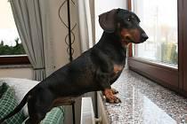 Malý jezevčík může být dobrým hlídačem domu.