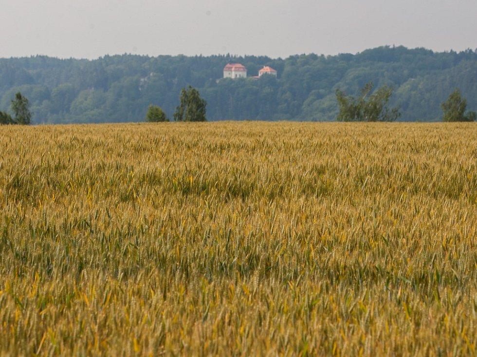 Pšeničné pole nedaleko Turnova dne 8. července.