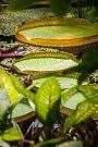 Lekníny v liberecké botanické zahradě. Snímek je z 8. srpna.