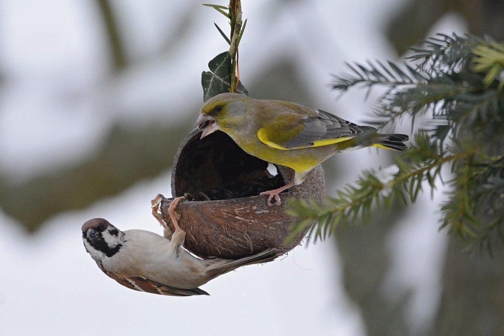 Vrabec polní a zvonek zelený.