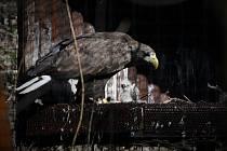 Mládě orla mořského z ostravské zoo nalezlo adoptivní rodiče v Liberci.