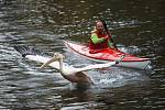 Odchyt pelikánů v liberecké zoologické zahradě.