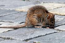 Potkana můžete potkat klidně v centru města