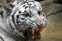 Bílý tygr v liberecké ZOO