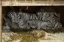 Bílý tygr Liam se stal trojnásobným otcem.