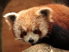 LOTUS, nová obyvatelka ZOO Liberec. Jde o téměř roční pandu červenou. Brzy jí z britských ostrovů dorazí i partner.