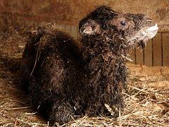 MÁ JMÉNO SELENGA. Liberecká zoo má nový přírůstek. Mládě velblouda dvouhrbého je samička a jmenuje se Selenga.