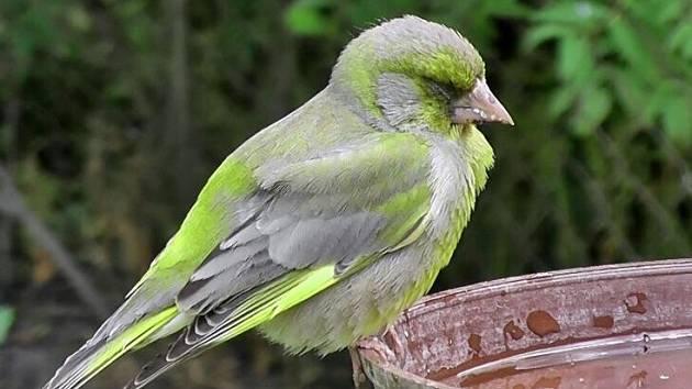 Zvonek zelený s příznaky trichomonózy – sliny u zobáku, zavřené oči a sedí na jednom místě. Ani při bezprostředním přiblížení člověka neuletí daleko.