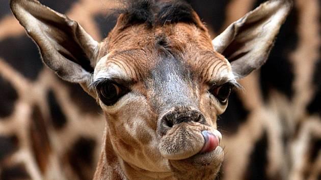 Samička žirafy Rothschildovy BWINDI.