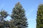 Smrk stříbrný se letos stane vánočním stromkem, který ozdobí liberecké náměstí.