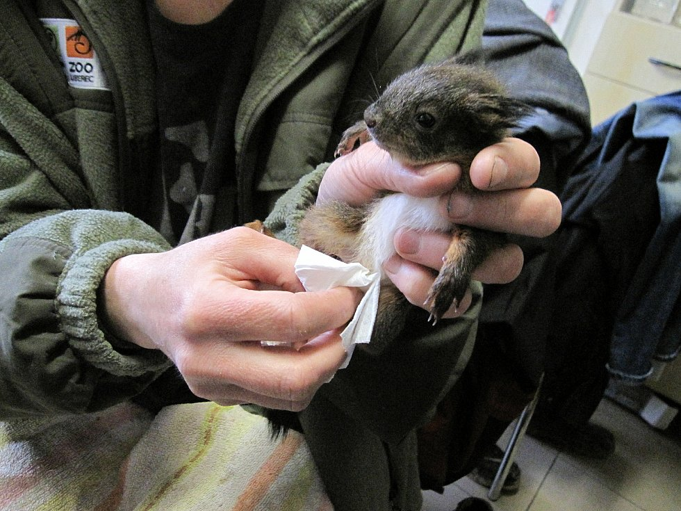 Dočasný azyl v Arše Liberec našla tři podchlazená, přibližně šest týdnů stará veveřátka.