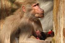Opice pavián