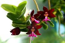 Mezi chlouby botanické zahrady patří vedle návštěvnicky atraktivního vodního světa i různobarevné orchideje.